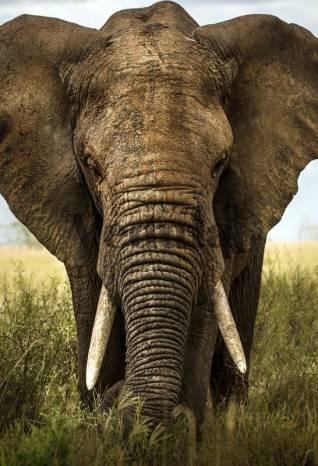 Фотообои, фреска Большой африканский слон, арт. ID13104