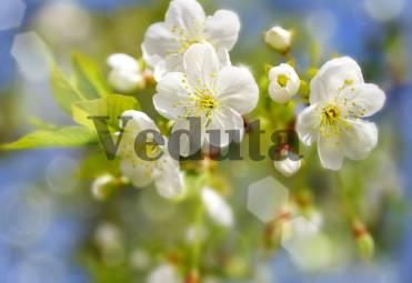 Фотообои, фреска Цветы белой сакуры, арт. ID11822