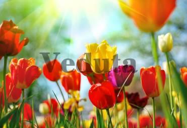 Фотообои, фреска Разноцветные тюльпаны, арт. ID11610