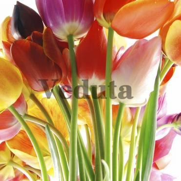 Фотообои, фреска Разноцветные бутоны тюльпанов, арт. ID12689