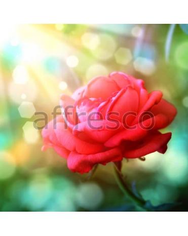 Фотообои, фреска Солнечный цветок розы, арт. 7226