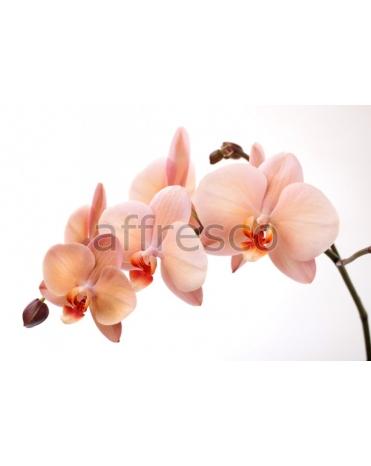 Фотообои, фреска Ветка нежной орхидеи, арт. 7224