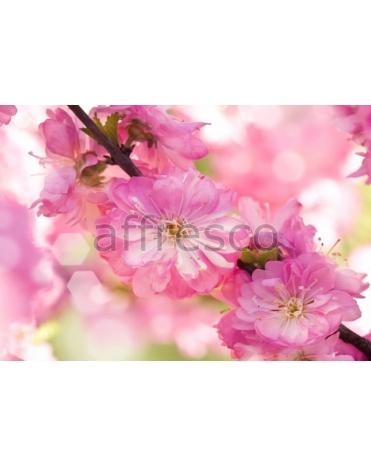 Фотообои, фреска Розовые цветки сакуры, арт. ID11820