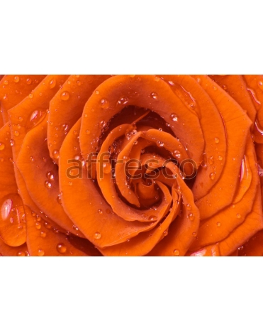 Фотообои, фреска Капли воды на лепестках розы, арт. ID12063