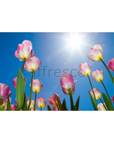 Фотообои, фреска Солнце тюльпаны, арт. ID11626