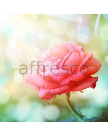 Фотообои, фреска Распустившаяся роза, арт. ID11726